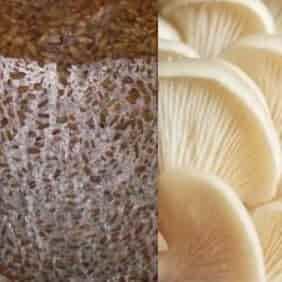 قارچ صدفی سفید خوراکی