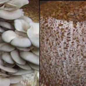 اسپان قارچ صدفی طوسی یا خاکستری
