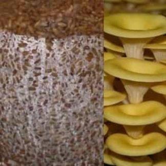 اسپان قارچ صدفی زرد