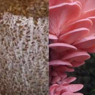 بذر قارچ صدفی صورتی